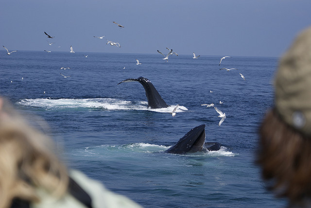 Whale Watching - Image Credit: https://www.flickr.com/photos/spezz/2736587673